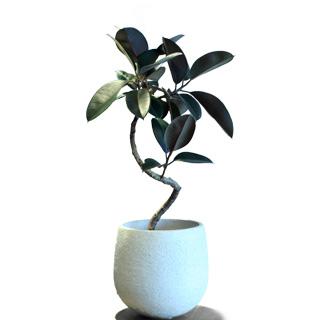 """Ficus elastica """"Decora Bergandi"""""""