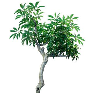 """Schefflera arboricola cv. Compacta  """"King"""""""